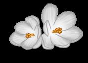 крокус